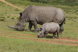 South African White Rhinoceros 028 Fotografisk tryk af Bob Langrish