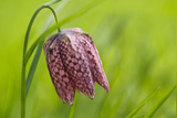 Snake's Head Fritillary Flower Photographic Print by Cora Niele