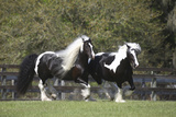Gypsy Vanner 013 Photographic Print by Bob Langrish