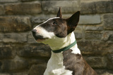 Bull Terrier 05 Photographic Print by Bob Langrish