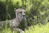 African Cheetah 011 Photographic Print by Bob Langrish