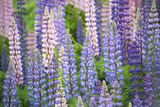 Blue Pink Lupine Field Photographic Print by Cora Niele