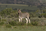 African Zebras 019 Photographic Print by Bob Langrish