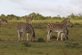 African Zebras 062 Photographic Print by Bob Langrish