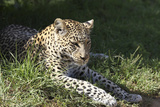 South African Leopard 006 Photographic Print by Bob Langrish