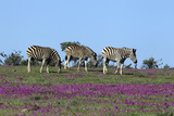 African Zebras 063 Photographic Print by Bob Langrish