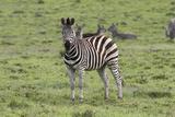 African Zebras 106 Photographic Print by Bob Langrish