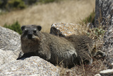 South African Dassie Rat 011 Photographic Print by Bob Langrish