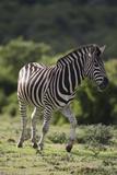 African Zebras 087 Photographic Print by Bob Langrish