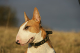 Bull Terrier 14 Photographic Print by Bob Langrish
