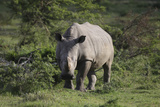 South African White Rhinoceros 011 Photographic Print by Bob Langrish
