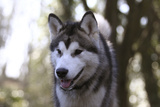Alaskan Malamute 04 Photographic Print by Bob Langrish
