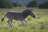 African Zebras 041 Photographic Print by Bob Langrish