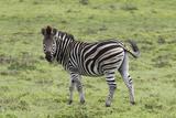 African Zebras 105 Photographic Print by Bob Langrish
