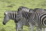 African Zebras 108 Photographic Print by Bob Langrish