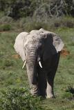 African Elephants 017 Photographic Print by Bob Langrish