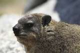 South African Dassie Rat 005 Photographic Print by Bob Langrish