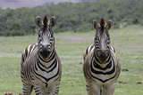 African Zebras 123 Photographic Print by Bob Langrish