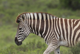 African Zebras 025 Photographic Print by Bob Langrish