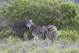 African Zebras 095 Photographic Print by Bob Langrish