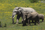 African Elephants 016 Photographic Print by Bob Langrish
