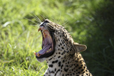 South African Leopard 009 Photographic Print by Bob Langrish