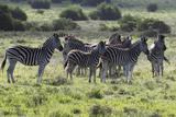 African Zebras 101 Photographic Print by Bob Langrish