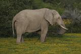 African Elephants 014 Photographic Print by Bob Langrish