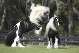 Gypsy Vanner 012 Photographic Print by Bob Langrish