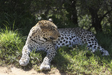South African Leopard 002 Photographic Print by Bob Langrish