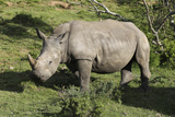 South African White Rhinoceros 022 Photographic Print by Bob Langrish
