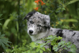 Border Collie 50 Photographic Print by Bob Langrish