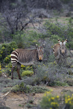 African Zebras 011 Photographic Print by Bob Langrish