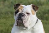 French Bulldog 26 Photographic Print by Bob Langrish