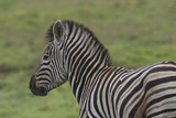 African Zebras 071 Photographic Print by Bob Langrish