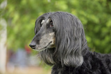Afghan Hound 02 Photographic Print by Bob Langrish