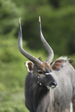 African Nyala 01 Photographic Print by Bob Langrish