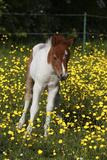 Shetland Pony 019 Photographic Print by Bob Langrish