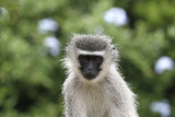 South African Vervet Monkey 009 Photographic Print by Bob Langrish