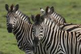 African Zebras 074 Photographic Print by Bob Langrish