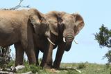 African Elephants 044 Photographic Print by Bob Langrish