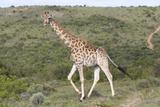 African Giraffes 063 Photographic Print by Bob Langrish