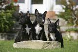 Bull Terrier 23 Stampa fotografica di Bob Langrish