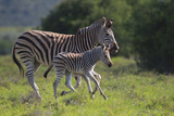 African Zebras 037 Photographic Print by Bob Langrish
