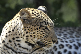 South African Leopard 007 Photographic Print by Bob Langrish