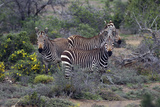 African Zebras 010 Photographic Print by Bob Langrish
