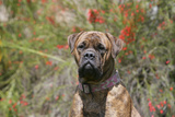 Bull Mastiff 15 Photographic Print by Bob Langrish
