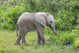 African Elephants 031 Photographic Print by Bob Langrish