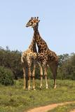 African Giraffes 089 Photographic Print by Bob Langrish