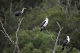 African White-Breasted Cormorant 01 Reproduction photographique par Bob Langrish